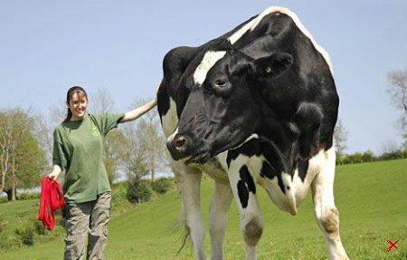 Чили — самый большой бык в мире (4 фото)